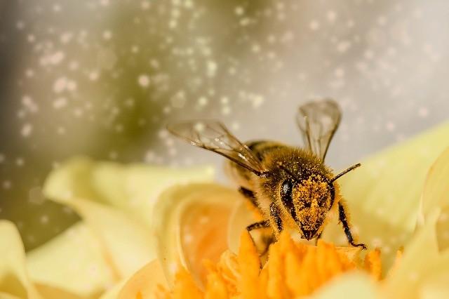 แมลงผึ้ง