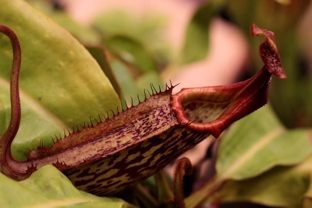 ความสวยงามของ หม้อข้าวหม้อแกงลิง (nepenthes)